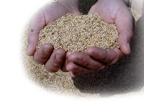 web-INSET-Millet-seed-6